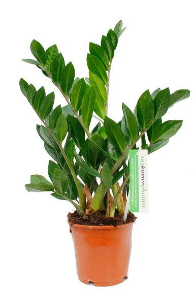 Zamioculcas kamerplant online kopen bij 123planten