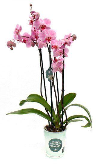 Phalaenopsis Boston - 4 tak