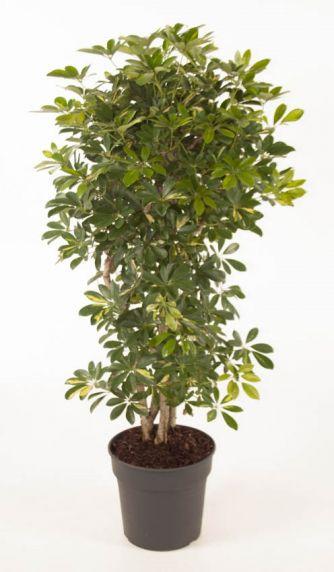 arboricola Gold Capella