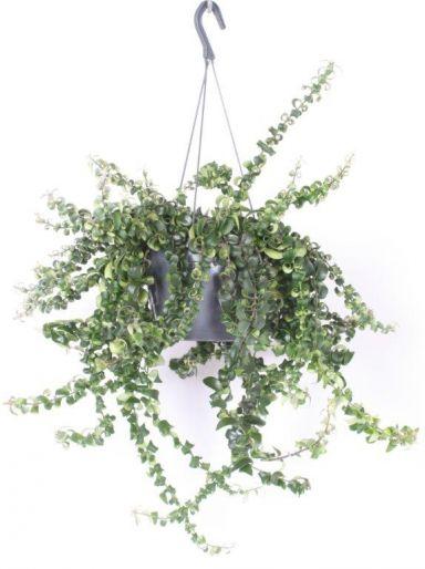 Aeschynanthus Swing