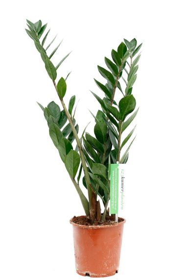 Kleine Zamioculcas online kopen bij 123planten