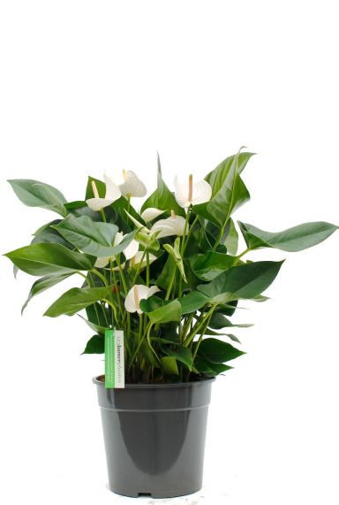Anthurium Sumi kamerplant kopen bij 123planten