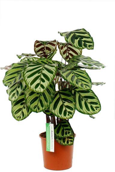 Calathea makoyana ovale bladeren met uniek patroon