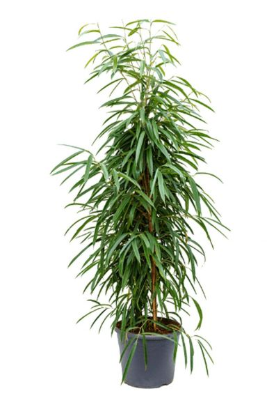 Ficus Alii kamerplant kopen