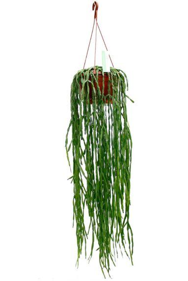Rhipsalis kamerplant