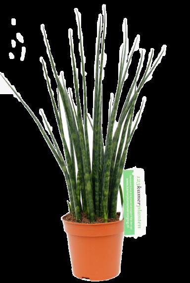 Sansevieria fernwood mikado