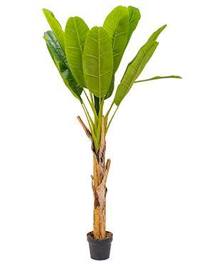 Bananenplant - Musa