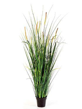 Foxtail wild grass