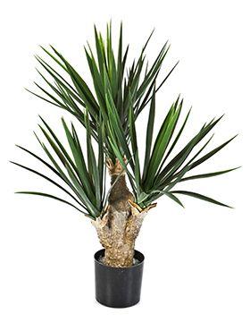 Yucca baby (3)