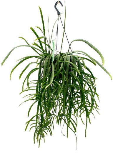 Groene hangplant kopen bij 123planten