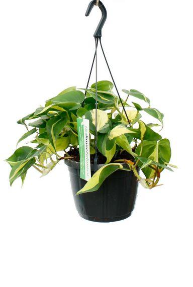 Philodendron Brasil hangplant kopen bij 123planten