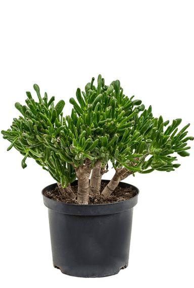 Aantrekkelijke crassula horntree huiskamerplant