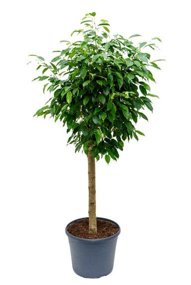 Aantrekkelijke ficus columnar binnenplanten
