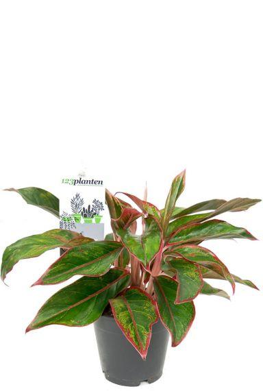 Aglaonema crete kamerplant