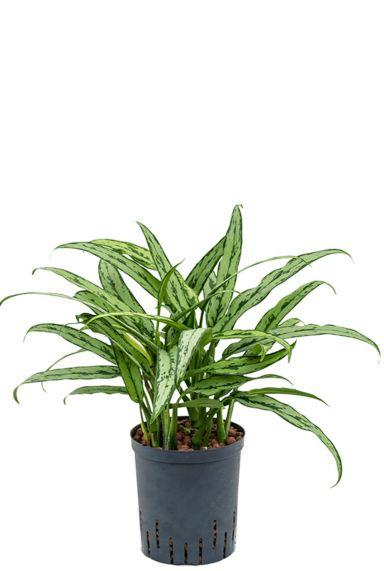 Aglaonema cutlass hydro plant