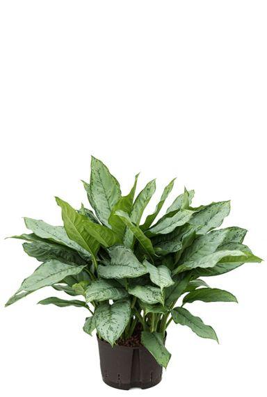 Aglaonema freedman hydrocultuur plant