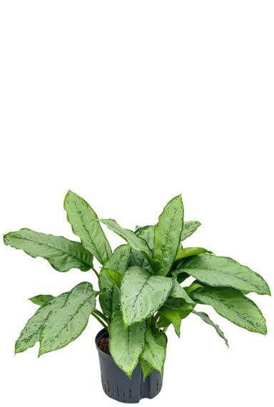 Aglaonema freedman hydrocultuur plant 1