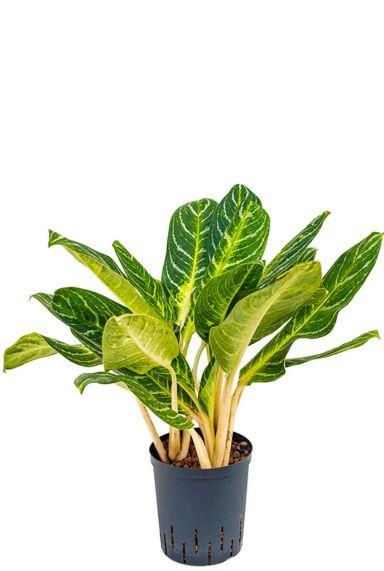 Aglaonema key lime hydrocultuur