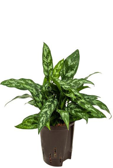 Aglaonema maria hydro plant