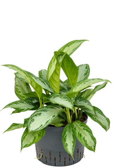 Aglaonema silver bay hydro plant