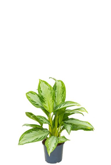 Aglaonema silver bay kamerplant