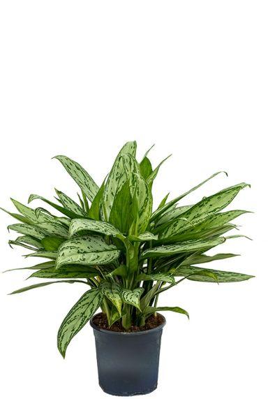Aglaonema silver queen kamerplant 1