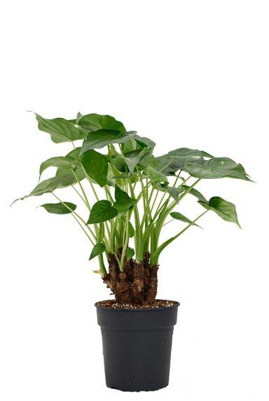 Alocasia-cucullata-kamerplant-olifantsoor