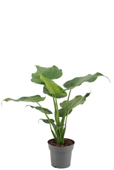 Alocasia cucullata plant 3