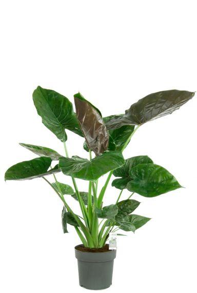 Alocasia wentii grote kamerplant