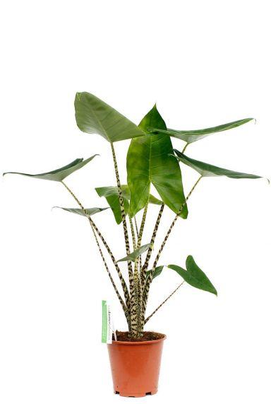 Alocasia Zebrina met grote bladeren