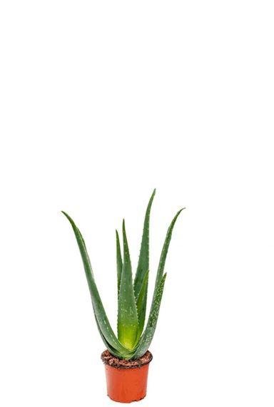 Aloe vera kamerplant 3
