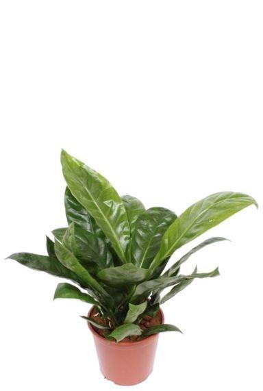 Anthurium antingo plant