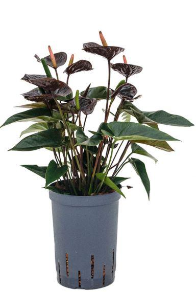 Anthurium black hydrocultuur planten