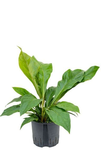 Anthurium jungle bush hydrocultuur