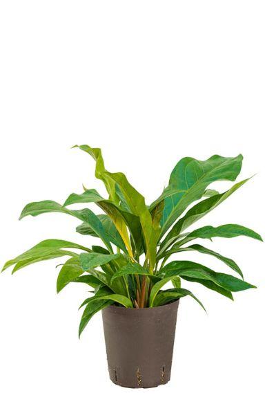 Anthurium jungle bush hydrocultuur plant