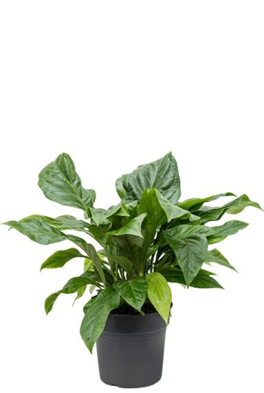 Anthurium jungle kamerplant