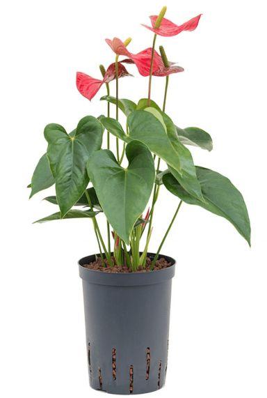 Anthurium sierra kamerplant hydro