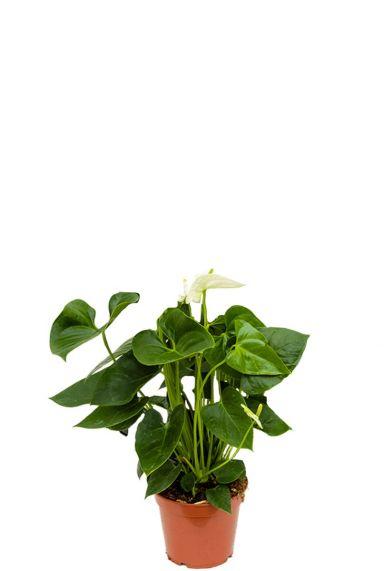 Anthurium sierra white kamerplant
