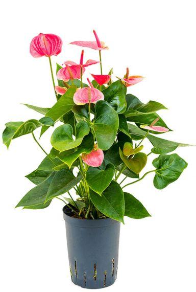Anthurium sweet dream hydro kamerplant
