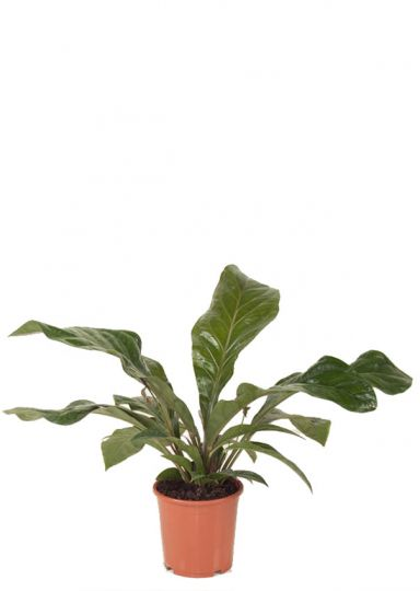 Anthurium Antingo kamerplanten