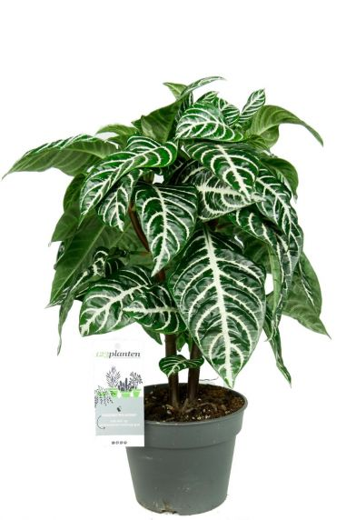 Aphelandra squarrosa kamerplant
