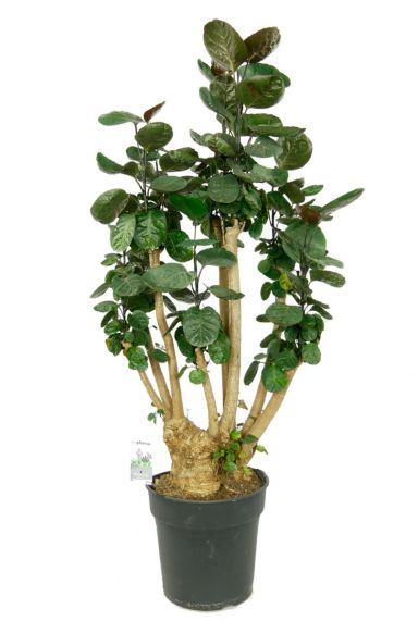 Aralia fabian kamerplant 1