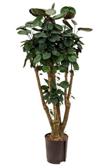 Aralia fabian kamerplant hydrocultuur