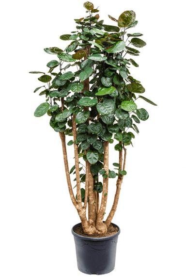 Aralia polyscias fabian kamerplant