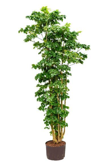 Aralia polyscias roble plant 1