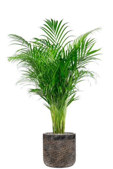 Areca in luxe plantenpot