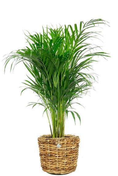 Areca palm in gevlochten mand