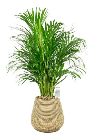 Areca palm in mand 2