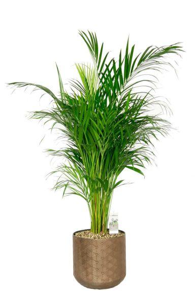 Areca palm in pot