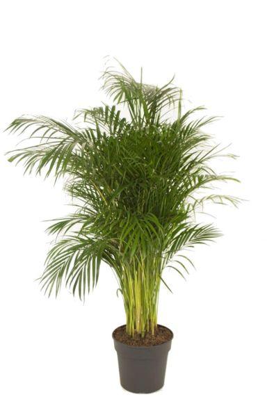 Areca palm kamerplant